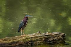 Green Heron (murf50) Tags: greenheron owensound paulmurphy bird birds feathers heron nature wildlife wings