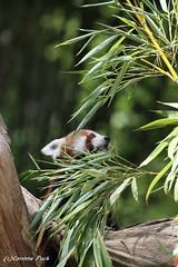 Petit panda (Passion Animaux & Photos) Tags: petit panda roux redpanda ailurus fulgens