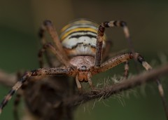 Wasp Spider (Argiope bruennichi) (Chambers35) Tags: spider spiders sigma summer arachnid animals animal animalphotography arachnids wasp portrait insects insect invertebrates invertebrate invert nikon wildlife wildlifephotography macro macrophotography macrodreams macros makro uk