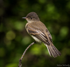 Eastern Phoebe (Melissa M McCarthy) Tags: easternphoebe phoebe bird songbird flycatcher animal nature wildlife outdoor cute perched portrait winnipeg manitoba canada canon7dmarkii canon100400isii