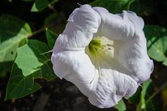 Sacred Datura (San Francisco Gal) Tags: daturawrighti datura sacred plant flower fleur bloom blossom closeup nm newmexico ngc npc coth5