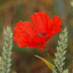 2018_07_0277 (petermit2) Tags: poppies poppy wheat field northcavewetlands northcave brough eastyorkshire eastridingofyorkshire yorkshire yorkshirewildlifetrust ywt wildlifetrust wildlifetrusts
