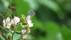 Holly Blue, 21082018, (6) f (alanblunden) Tags: riverwitham alongtheriver wildlife grantham wild queenelizabethparkhermajestyqueenelizabeththequeenmother plant wildplant wildflowers insect butterflies wildinsect granthamsriversidewalkcycleway summer bramble park hollyblue august river summer2018 wildbutterflie blackberry august2018 wildberry