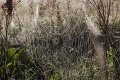 Spindelvæv (Walter Johannesen) Tags: spindelvæv spider web morgen morning vanddråber water drops vand dråber