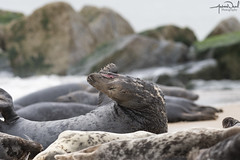Seals (AndyNeal) Tags: wildlife nature seals seal horsey horseygap beach sand sea