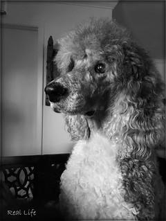 35/52 Pensive Poodle