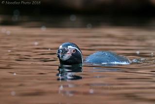 Brillenpinguin - Black-footed penguin