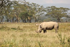 A nerdy animal in her environment (Nagarjun) Tags: lakenakurunationalpark kenya eastafrica wildlife bigfive whiterhino whiterhinoceros southernwhiterhinoceros ceratotheriumsimumsimum safari gamedrive herbivore biggame