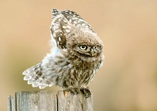 Little owl juv