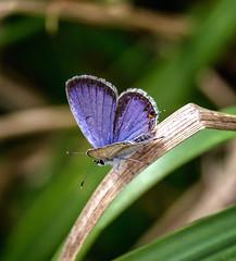 Date Day (Portraying Life, LLC) Tags: dbg6 da3004 hd14tc k1mkii michigan pentax ricoh unitedstates butterfly closecrop handheld nativelighting meadow mate thatch