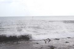 High Tide at Dawlish , Devon ( 2 ) . (AndrewHA's) Tags: devon dawlish high tide sea birds gulls