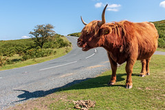 Highland shadow (Keith in Exeter) Tags: highland cow shadow livestock hairy red animal horns dartmoor nationalpark devon landscape road curve tree grass bracken sky