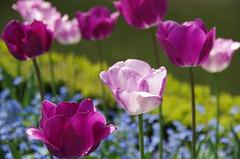 JLF14571 (jlfaurie) Tags: maintenon château castillo palace 22042018 jardin garden tulipes tulipanes tulips mechas gladys amigos friends michel magda sergio primavera printemps pentaxk5ii mpmdf jlfr jlfaurie spring flowers flores fleurs agua eau water canal intérieurs interiores inside