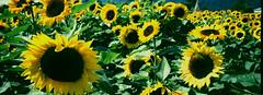 Sunflower - Film Hasselblad (Photo Alan) Tags: sunflower film filmcamera filmscan film120 filmhasselblad hasselblad hasselbladxpan vancouver canada