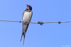 One Swallow. (I'mDKB) Tags: 70300mmf4556g july nerja nikon nikond600 spain imdkb 2016 70300mm andalucia andalusia espana swallow