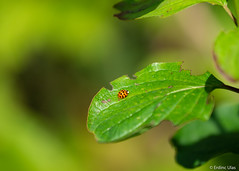 Coccinellidae (✦ Erdinc Ulas Photography ✦) Tags: insect nature ladybird coccinellidae dots black orange green forest focus macro panasonic canon smooth background light gold netherlands nederland holland dutch leaf tree bokeh shadow small ladybeetle ef canonef70200mmf4l