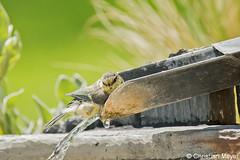 2016.05.25 - 5932 - Mésange bleue Bois Bas © (chmeyer51) Tags: oiseau mésangebleue paridae paruscaeruleus