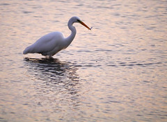Great egret (Ardea alba), Leighton Moss RSPB Reserve (Niall Corbet) Tags: rspb leightonmoss wetland egret greategret ardeaalba