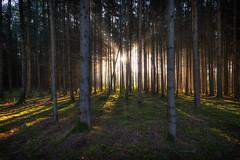 Morning Glory (der_peste (on/off)) Tags: forest forestscape sunlight sunrise raysoflight sunrays godrays raysofgod crepuscularrays woods woodland forrest trees sunstar