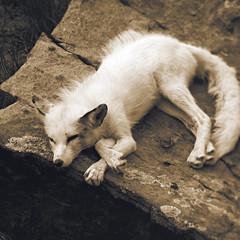 34 / 52 : 2 (Randomographer) Tags: 52weeks sleep sleepy lazy tired fox omnivorous mammal triangular ears rock cozy furry soft white wild animal sanctuary keenesburg colorado 35 52 2018