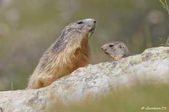IMG_2374_DxO.jpg (Lumières Alpines) Tags: didier bonfils goodson73 marmottes lautaret faune alpes france
