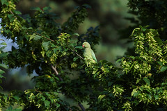 A Rose Ringed Parakeet in a tree / une perruche a collier dans un arbre (4/4) : easy to hear but hard to see (Franck Zumella) Tags: perruche perroquet collier vert rouge parakeet rose ringed 앵무새 bird oiseau wildlife nature green yellow jaune animal red food summer eat beak close closeup portrait a7s 150600 tamron