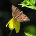 Horace's duskywing on wing-stem (Erynnis horatius)