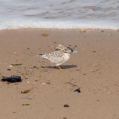 Little Terns at Winterton (1gl) Tags: 2018 carpet carpets killer gumbo norfolk wintertononsea beach coast