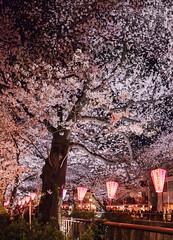Nakameguro Sakura - Tokyo, Japan (inefekt69) Tags: japan tokyo nakameguro river lightup lanterns sakura cherry blossoms flowers nature spring hanami nikon d5500 日本 東京 さくら 桜 花見 中目黒 tumblr