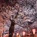 Nakameguro Sakura - Tokyo, Japan