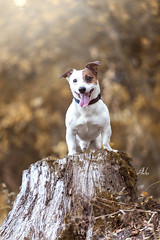 Taxi II (Alexandremqs) Tags: explore expression dogs doglove jack russel small woman blonde portugal portrait pets perro pose photography yourbestoftoday warm autumn beautiful simply photoshoot smile happydogsday hapiness background leaves trees lifestyle