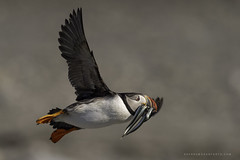 Puffins and eels (Khurram Khan...) Tags: atlanticpuffin birdphotography birds birding naturephotography khurramkhan wwwkhurramkhanphotocom iamnikon ilovenature ilovewildlife