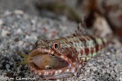 IMG_7775-Diving-280718-feeding, reef lizardifsh- Synodus variegatus.jpg (cameron_tim) Tags: marinelife lizardfishessynodontidae fishes feeding bonyfishesosteichthyes reeflizardifshsynodusvariegatus
