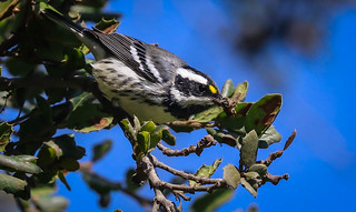 Black-throated Gray Warbler  Santa Monica Woodlawn Cemetery California-1