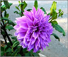 Blue Dahlia Flower ... (** Janets Photos **) Tags: uk plants flora flowers dahlia nature blue