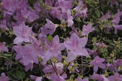 photo_0024 (L____) Tags: pennsylvania pittsburgh nature bush flower azalea cemetery arboretum plant