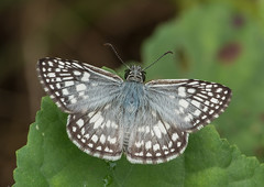 F60451-458-Orcus-Tropical Checkered-skipper (Pyrgus orcus/oleus) (DJHiker) Tags: colombia hesperiidae vlinder insect