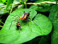 Survival of the Fittest (_Lionel_08) Tags: bugs insect macro bug green leaf louisiana vines vine death eating eat food fighting canon