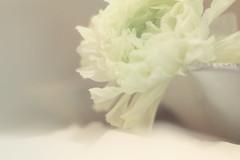 White on White (Tomo M) Tags: smileonsaturday whiteonwhite flower stilllife pottery ranunculus soft petal