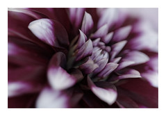Purple softness (Guillaume DELEBARRE) Tags: heart flower fleur soft purple canon 100f28l macro dahlia 5dmarkiv 5d4 filmpack dxo stilllife simple photolab