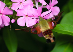 Hummingbird Clearwing Moth (Matt Claghorn) Tags: nikond50 tokina100mmf28 hemaristhysbe ohioinsects insect moth hummingbirdmoth