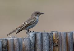 Spotted Fly Catcher, Can Cuarassa, Mallorca (irelaia) Tags: spotted flycatcher can cuarassa mallorca spain wild bird fly