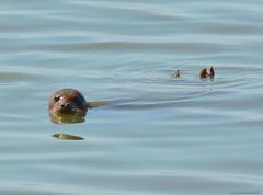 Resting seal (Roger Nyemaster) Tags: california sanfranciscobayarea alamedaco haywardca sanfranciscobaytrail ebparksok haywardregionalshoreline phocidae phocavitulina phocavitulinarichardsi harborseal commonseal