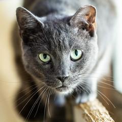 Stanley02Sep20188.jpg (fredstrobel) Tags: pawsatanta atlanta places pets animals ga usa pawscats cats decatur georgia unitedstates us