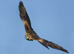 The most spectacular Raptor (Ann and Chris) Tags: avian amazing awesome bird beautiful flying gorgeous gliding hunting hunt incredible impressive spectacular wildlife wild wings
