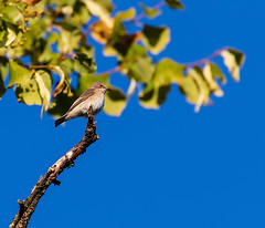 Spotted Flycatcher (Gary Cantwell) Tags: perth scotland