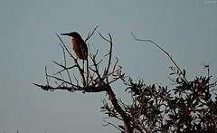The Heron & The Dragonfly (zeesstof) Tags: zeesstof vacation photoassignment southcarolina hiltonhead wildlife pinckneyisland wildliferefuge bluffton heron greenheron butoridesvirescens