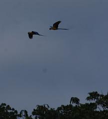 Blue and Gold Macaw (tim ellis) Tags: holiday amazon iracema rionegro bird parrot macaw blueandgoldmacaw blueandyellowmacaw araararauna manaus brazil