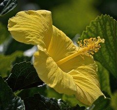 From The Side (ACEZandEIGHTZ) Tags: hibiscus nikon d3200 garden yellow closeup coth alittlebeauty coth5 sunray5
