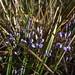 2016-09-27 Bicheno Lookout Rock 12 - Comesperma volubile - Purple love creeper flowers